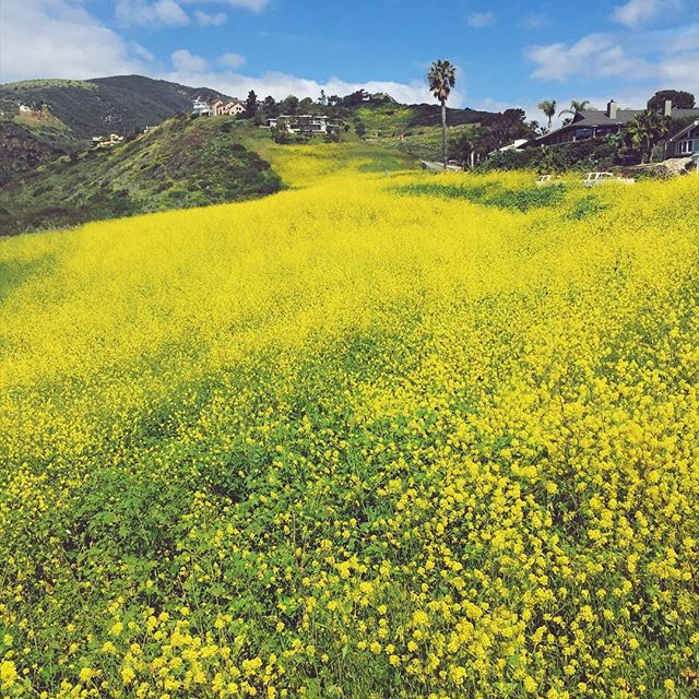 Does this make you wanna burst into spontaneous yodeling?   #morningwalk #trancascanyon #yellow #mustard #flowers #view